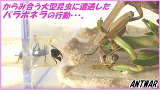 絡み合う2匹の大型昆虫に遭遇したパラポネラがとった行動・・・。