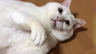 超高校級の逸材コネコチャン、珍妙な白たぬき(猫)と遭遇する