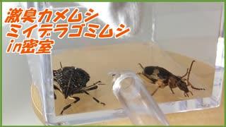 激臭カメムシと【100度のオナラ】ミイデラゴミムシを密室に閉じ込めた結果・・・。