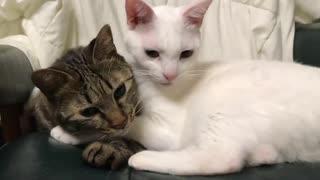 瀕死だったキジトラ子猫、へたくそな愛で