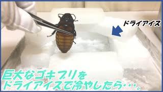 巨大ゴキブリを余ったドライアイスで冷やしたら・・・