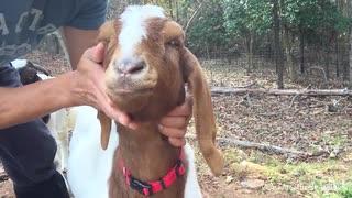【ダーク♂日常】Goats