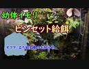 【ビバリウム】幼体イモリに初ピンセット給餌 /イモリウム.10 オマケ:立ち絵変更のお知らせ