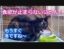 食欲が止まらないにゃん!【The cat which is full of appetites!】