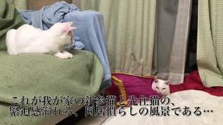 オッドアイの白たぬき(猫)、居間にて珍妙