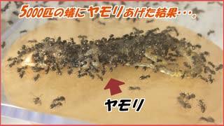 ヤモリを5000匹の蟻に与えた結果・・・。