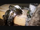 ブタを丸呑みするアミメニシキヘビ