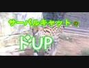 【度アップ】サーバルキャットの度アップ顔マジでカワイイ[愛媛県立とべ動物園](俺の動物観察)[俺のシリーズ]