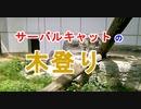 【木登り】サーバルキャットが木に登った、見た目以上に素早くて器用[愛媛県立とべ動物園](俺の動物観察)[俺のシリーズ]