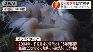 美ら海のイソギンチャク 15年間新種と気