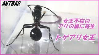 女王アリがいなくなった蟻の巣に忍び込むトゲアリ。【冬の企画】