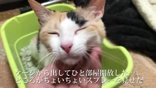 【閲覧注意】オス三毛猫、てんかんの発作