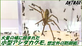 蟻の巣に入り込んだ小型アシダカグモの末路。