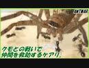 第17位:アシダカグモとの戦いの中で傷ついた仲間を助けるアリ。