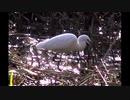 【野鳥】食物を求めて動き回る「シロサギ」