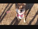 わがまま柴犬ももっぷのお散歩風景【ほのぼの動画】