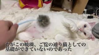 オッドアイの白たぬき(猫)、やる気を無く