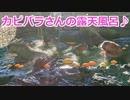 【伊豆シャボテン公園】カピバラさんの露天風呂~♪