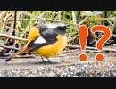 今日の野鳥達1月26日