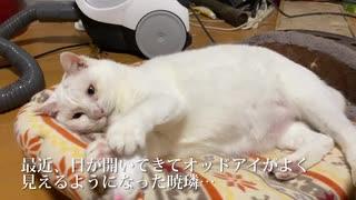 オッドアイの白たぬき(猫)、猫としてのモ