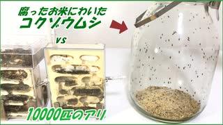 腐ったお米に湧く害虫の群れにアリを解き放ったら凄まじい戦いになった。