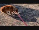散歩終了が近づいた時の犬