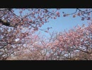 2020年2月9日 河津桜並木道