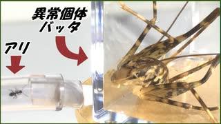 異常なバッタを蟻の巣と繋いだら「弱肉強食」を思い知らされた。