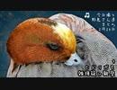 今日撮り野鳥2月20日晴れ+ヒドリ交雑?