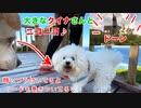 【犬いぬTube】大きなクイナさんとニコニコ犬♪【ビションフリーゼ トイプードル 雑種】