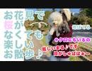 【犬いぬTube】日本一早い開花*桜満開?の公園お散歩行ってみたよ♪【ビションフリーゼ トイプードル 雑種】
