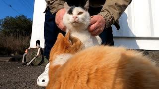 びくびくしながら触られる牛若丸【気持ちいいとの表裏一体のネコ】