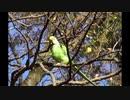 【野鳥】石神井公園で活動する「野生化したインコとカワセミ」