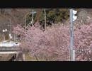 早咲きの桜2020年3月-3