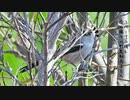 今日撮り野鳥動画まとめ3月19日電池切れ
