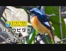 ジョウビタキ雄の鳴き声01(さえずり)