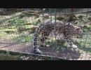 【多摩動物公園】ユキヒョウの様なネコ