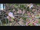 犬と散歩行ったら桜が開花してました!