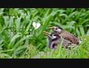 ムクドリの浮気!?今日撮りの野鳥動画まとめ3月27