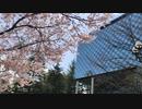 宮城、仙台は錦町公園の桜  コロナの年2020年03月28日