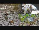 コガモ求愛・コゲラ蜜吸・アオジ囀り✨今日撮り野鳥動画まとめ3月30日