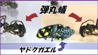 ヤドクガエルを猛毒のアリ「パラポネラ」で囲んだら、可愛すぎる結果になった。