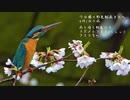 雨桜カワセミ、アオジ多め今日撮り野鳥動画まとめ4月1日