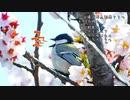 桜とシジュウカラ・カワセミ、カルガモ求愛?今日撮り野鳥動画まとめ4月2日