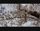 桜並木20200401-2