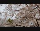 桜並木の散歩20200401-2