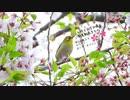 4月5日今日撮り野鳥動画まとめ【カワセミホバリング!桜と小鳥たち】
