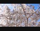 満開の桜20200405-2