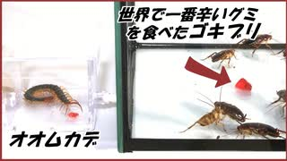 獰猛なオオムカデに「激辛なゴキブリ」を与えたら、異常すぎる結果になった・・・。