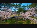 4K-桜満開!!城山公園の桜と緑の芝生が見事なコントラストだっ...